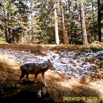 Wolf0003